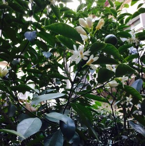 Blooming balming home citrus full bloom winter balm soul